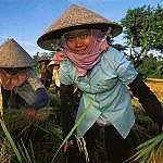 Vietnam - Rice Harvesting